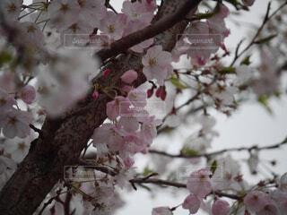 桜の写真・画像素材[1879022]