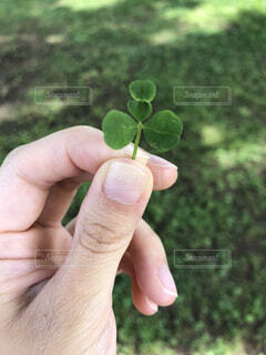 変わった形の四つ葉のクローバーの写真・画像素材[1616887]