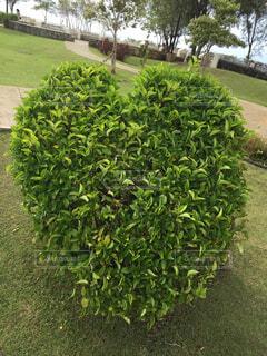 ハート型の植木を見つけた!の写真・画像素材[1629612]