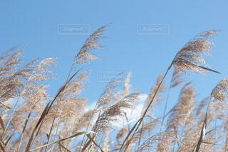 空とすすきの写真・画像素材[1724529]