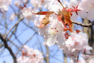 一足遅い5月の桜の写真・画像素材[2113441]