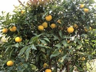 木にたわわとぶら下がる柚子の実の写真・画像素材[1596023]