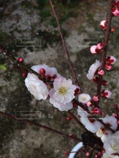 梅の写真・画像素材[366303]