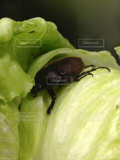 レタスの中でカブトムシ発見!!の写真・画像素材[1602385]