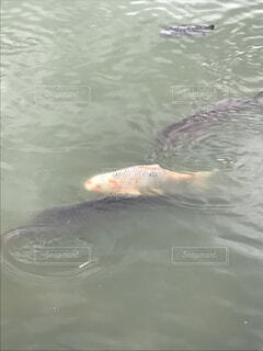 水体で泳ぐ犬の写真・画像素材[841550]
