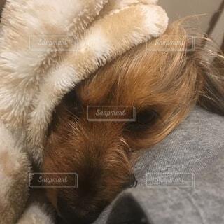 寝ているミックス犬の写真・画像素材[1599574]
