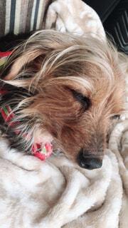 毛布の上に横になっている茶色と白犬の写真・画像素材[1599590]