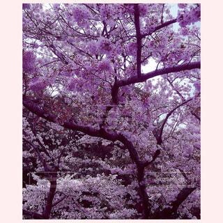 桜の写真・画像素材[1600474]
