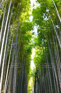 竹林の写真・画像素材[1705050]