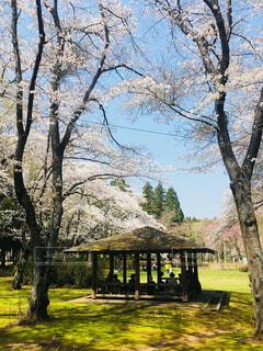 公園の大きな桜木の写真・画像素材[1601506]