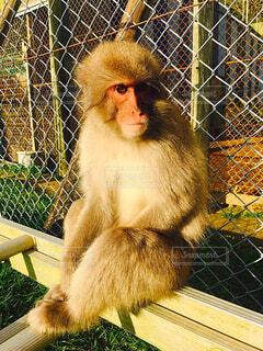 フェンスに座っている猿の写真・画像素材[1614505]