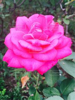 ピンクの薔薇の写真・画像素材[1614528]