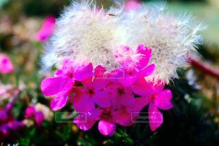 ピンクのお花とたんぽぽの綿毛の写真・画像素材[1692969]