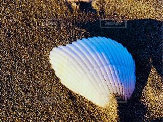 貝殻の写真・画像素材[1694349]