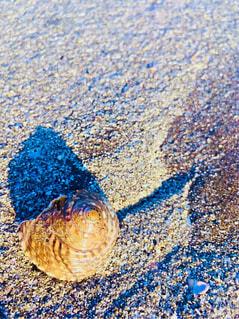 貝殻の写真・画像素材[1694352]