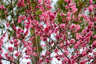 梅の花の写真・画像素材[1718423]