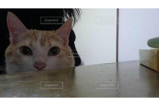 カメラを見ている猫の写真・画像素材[1606021]
