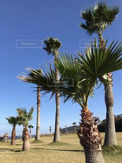ヤシの木と青空の写真・画像素材[1619222]