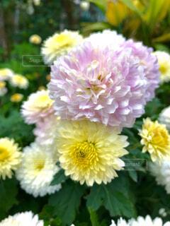 近くの花のアップの写真・画像素材[1640837]