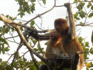枝の上に座って猿の写真・画像素材[1602033]