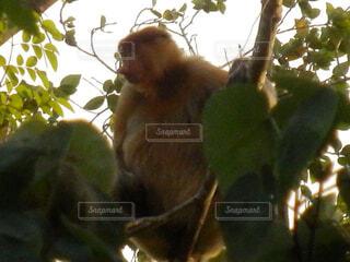 枝の上に座って猿の写真・画像素材[1602034]