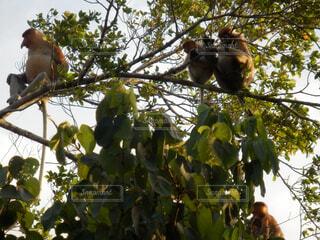 枝からぶら下がって猿の写真・画像素材[1602039]