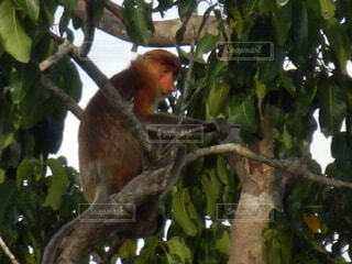 枝の上に座って猿の写真・画像素材[1602059]