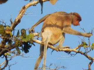 枝の上に座って猿の写真・画像素材[1602062]
