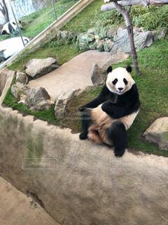座っているパンダの写真・画像素材[1614954]
