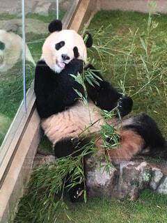 草の中に座っているパンダの写真・画像素材[1614959]