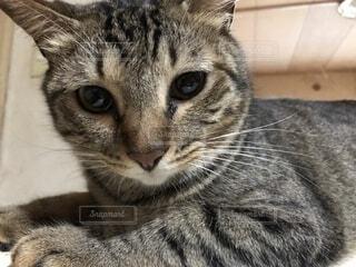 家猫のアップの写真・画像素材[1603459]