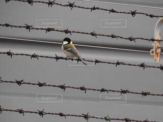 有刺鉄線に止まったシジュウカラ。鳥には立ち入り禁止も関係ない。の写真・画像素材[1604004]