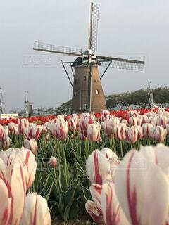色鮮やかチューリップとオランダ風車の写真・画像素材[2067190]