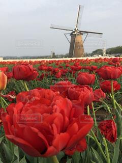 赤いチューリップとオランダ風車の写真・画像素材[2069510]