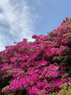 ピンクのツツジと空の写真・画像素材[3220447]