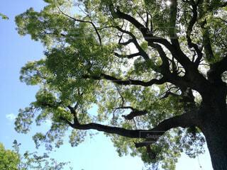 下から見上げた木の写真・画像素材[1605904]