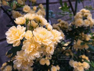 木香薔薇の写真・画像素材[1606370]