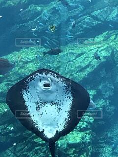 水族館でエイに捕食されるイワシの写真・画像素材[1608391]