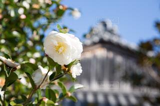 近くの花のアップの写真・画像素材[1608735]