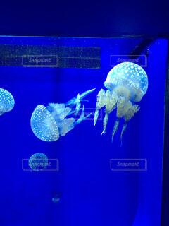 クラゲの写真・画像素材[1608944]