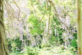 藤の花の写真・画像素材[2117347]