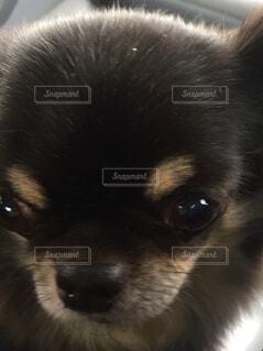 小さなチワワの写真・画像素材[1607859]