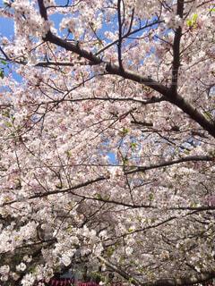 目黒川の桜の写真・画像素材[1607988]