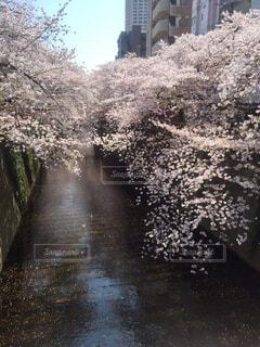 水面に映る桜の写真・画像素材[1607989]