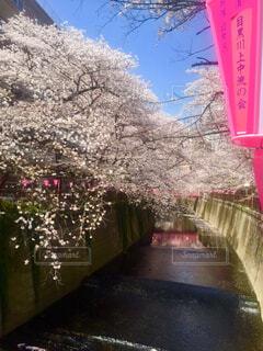 提灯と桜の写真・画像素材[1607990]
