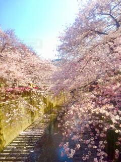 目黒川の桜の写真・画像素材[1607991]