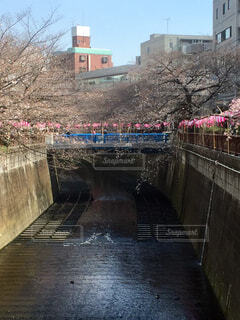 目黒川の桜の写真・画像素材[1608530]