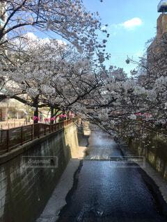 目黒川の桜の写真・画像素材[1608531]