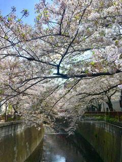 目黒川の桜の写真・画像素材[1608533]