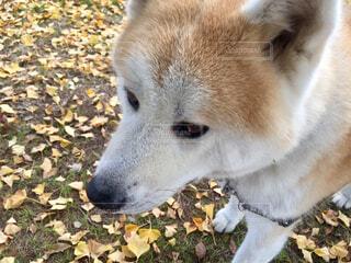 銀杏と秋田犬の写真・画像素材[1627242]
